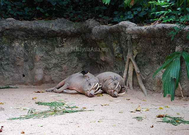 Singapore Zoo Babirusa