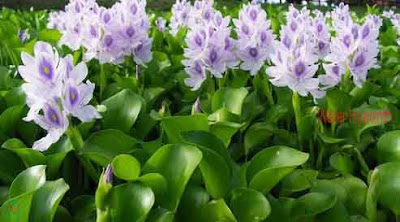 water hyacinth, water hyacinth flower
