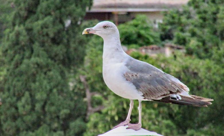 a gaivota curiosa