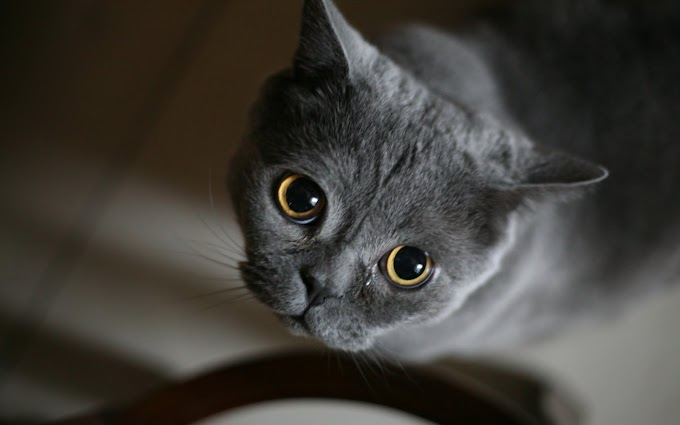 Gray Punch Face Cat