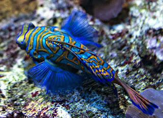 Jenis Ikan Hias Air Laut Mandarinfish