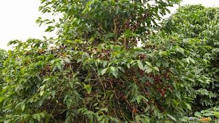 Árvore de café, em destaque grãos maduros