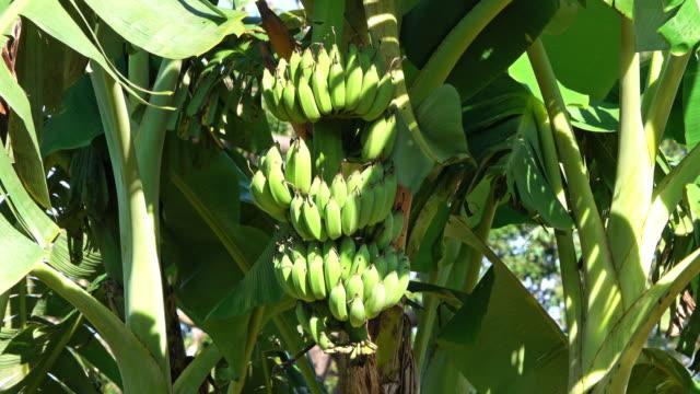 केला की खेती | Kela ki kheti
