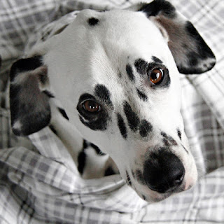 Dalmatian dog wrapped in a grey plaid flannel blanket
