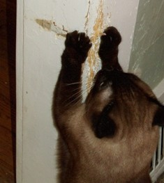 Cat scratching on wall due to stress