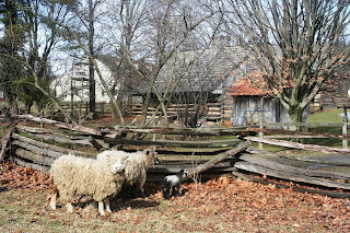 Sheep at Landis Valley enjoying mild January weather