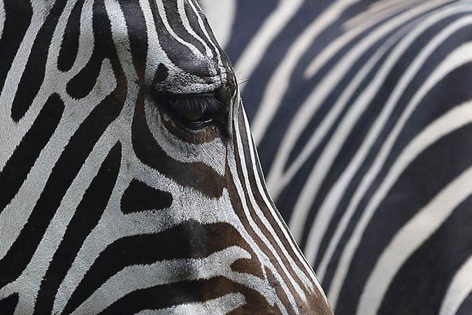 Dlium Do zebra stripes influence thermoregulation