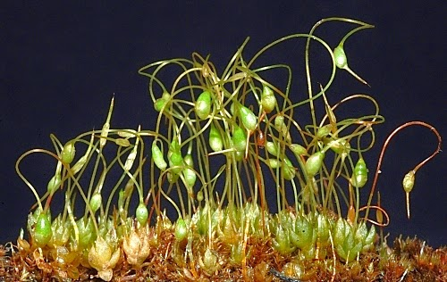 Multiple Choice Quiz on Bryophytes | Plant Science 4 U