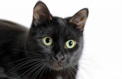 Kucing Hitam Bombay