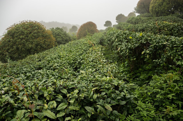 China, Tea, Tea terrace