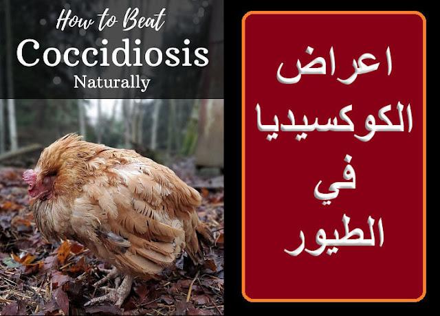 """""""علاج الكوكسيديا"""" """"اعراض الكوكسيديا"""" """"الوقاية من الكوكسيديا"""" """"اسباب الكوكسيديا"""" """"علاج الكوسترديا"""" """"الاسهال في الطيور"""" """"علاج الاسهال في الطيور"""" """"الاسهال الابيض في الطيور"""" """"علاج الاسهال الابيض في الطيور"""" """"الاسهال عند الطيور"""" """"اسباب الاسهال عند الطيور"""" أعراض الكلوستريديا في الدواجن"""""""" البراز الاحمر عند الدواجن"""""""" أمبرول للدواجن"""""""" ديكلازوريل للدواجن"""""""" امبروليم 20 للدواجن"""""""" """"علاج انكماش الفراخ"""" سعر امبرول"""""""" """"علاج الشخه الحمراء عند الدواجن"""" """"اسباب نفش ريش الطيور"""" """"علاج الكششان في الطيور"""" """"الاسهال البني في الطيور"""" """"الاسهال الاحمر في الطيور"""""""