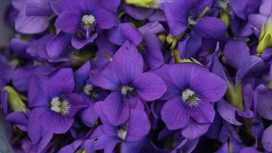 violet flower patch