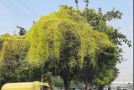 Culture-&-Tradition-Vine-of-Immoratality-लक्ष्मी-देवी-की-प्रिय-अमरबेल -में -छुपा-है-अमरता-का-राज