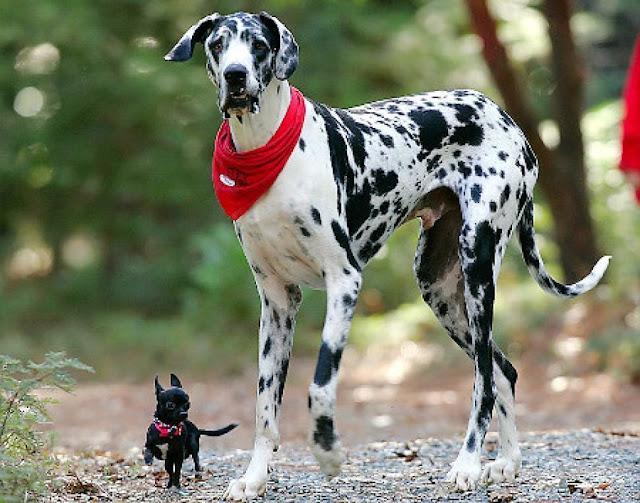 #10 Gibson: Ο Μεγάλος Δανός από το Grass Valley έχει ύψος 1,07 μέτρα.