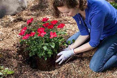 Cuidar das roseiras