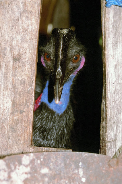 Late Pleistocene humans in New Guinea may have hatched and raised cassowary chicks