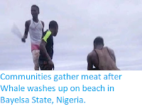 https://sciencythoughts.blogspot.com/2019/07/communities-gather-meat-after-whale.html