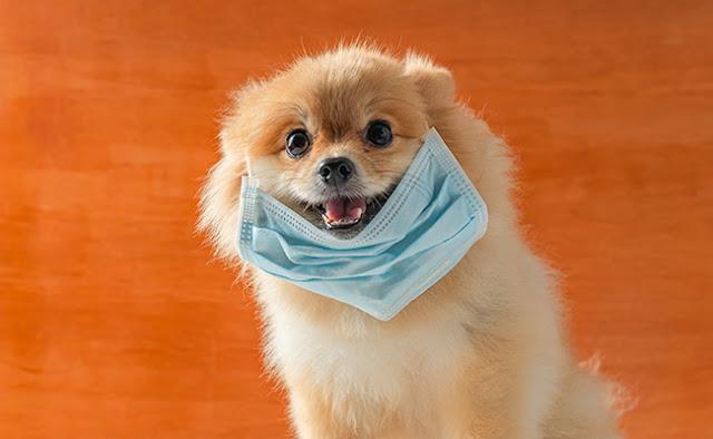 chien Coronavirus