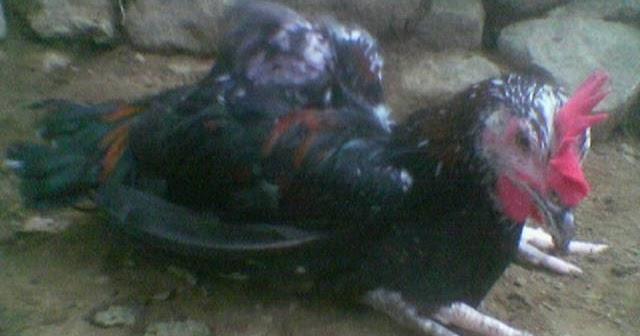 Faktor Penyebab Penyakit Lumpuh Pada Ayam Pelung Tips