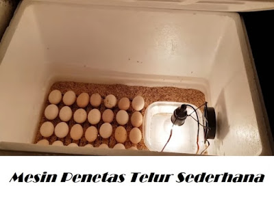 Cara Menetaskan Telur Ayam Dengan Mesin Styerofoam Sederhana