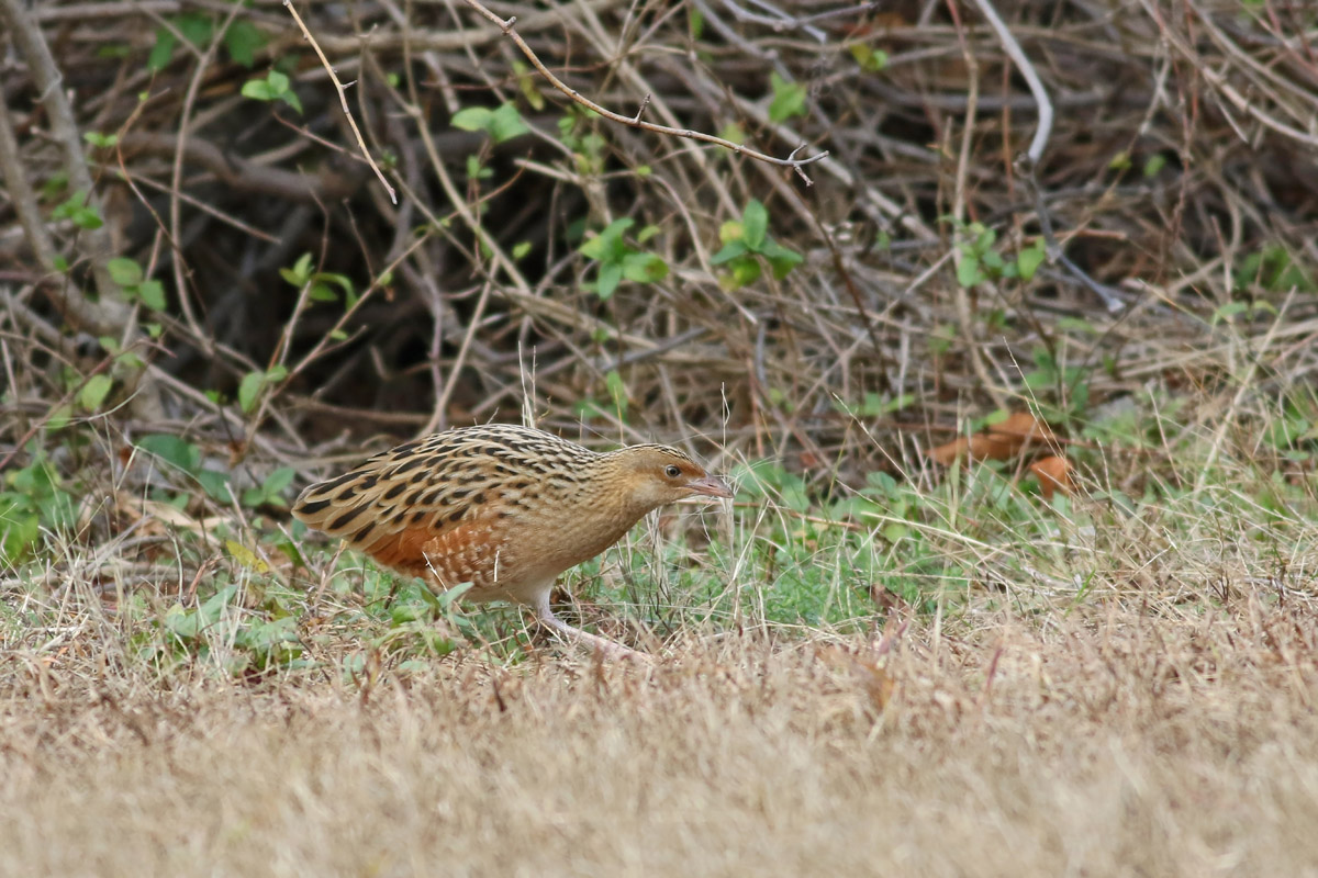 Corn Crake On Long Island