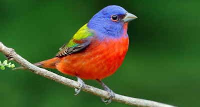 Painted Bunting