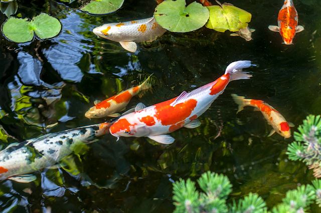 Basic Facts you Need To Know About Koi Fish