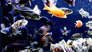 Cichlids Community Aquarium 4K HD Wallpaper