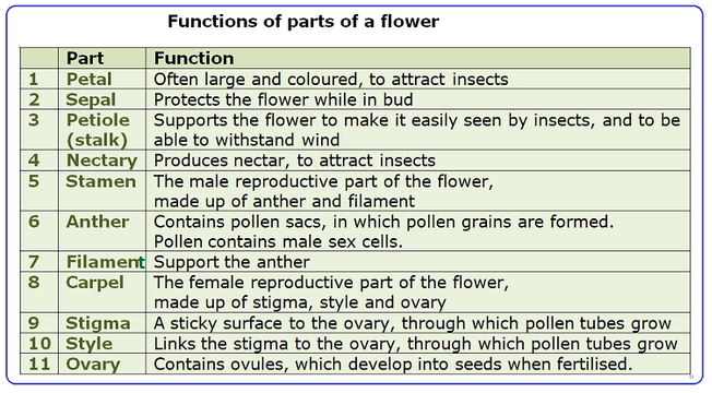 108 structure and functions of a flower biology notes for igcse 2014 you need to be able to describe the structure and functions of a named dicotyledonous two seed leaves flower ccuart Image collections
