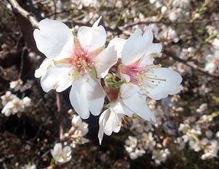 Flor del almendro (Prunus amydalus)
