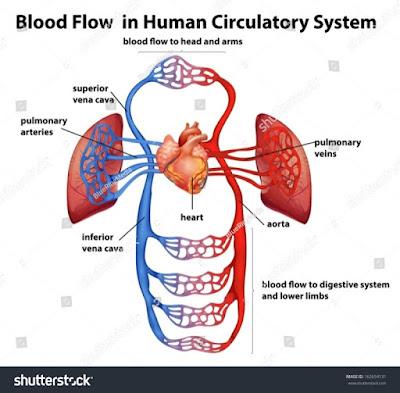 Blood circulatory system,  Cardiovascular system
