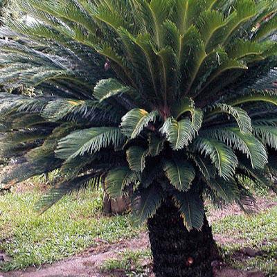 ต้นปรงญี่ปุ่น (Sago Palm)