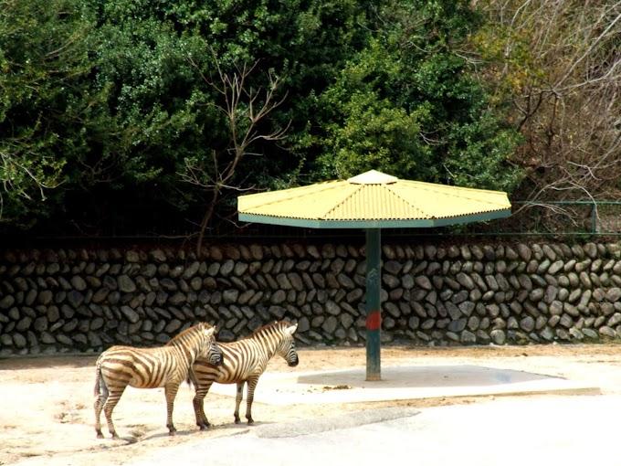 110 #シマウマ #動物 #動物園 #風景