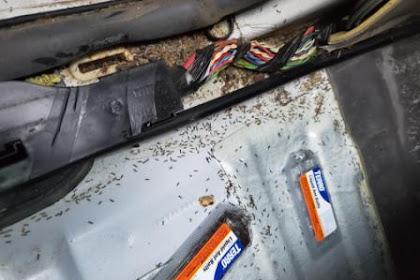 Lakukan 5 Langkah Ini Untuk Menyingkirkan Semut Yang Sering Berada  Di Mobil