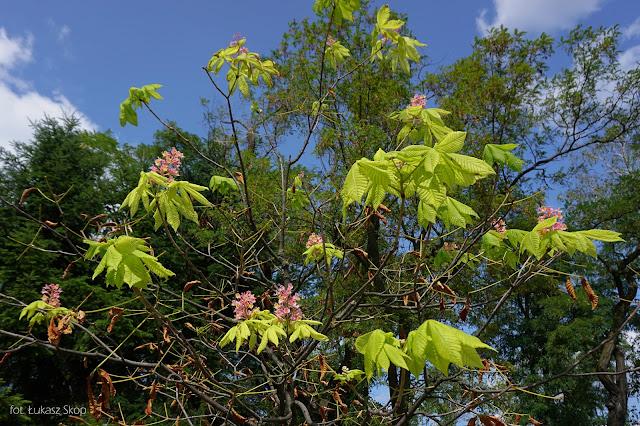 drzewa kwitną drugi raz