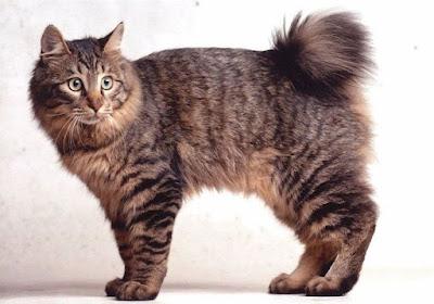 Jenis Ras Kucing Karelian Bobtail