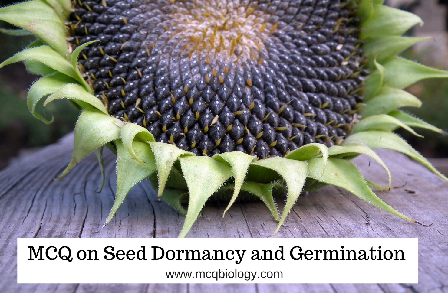 MCQ on Dormancy and Seed germination