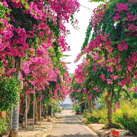 Con đường hoa giấy Nha Trang, Con duong hoa giay Nha Trang