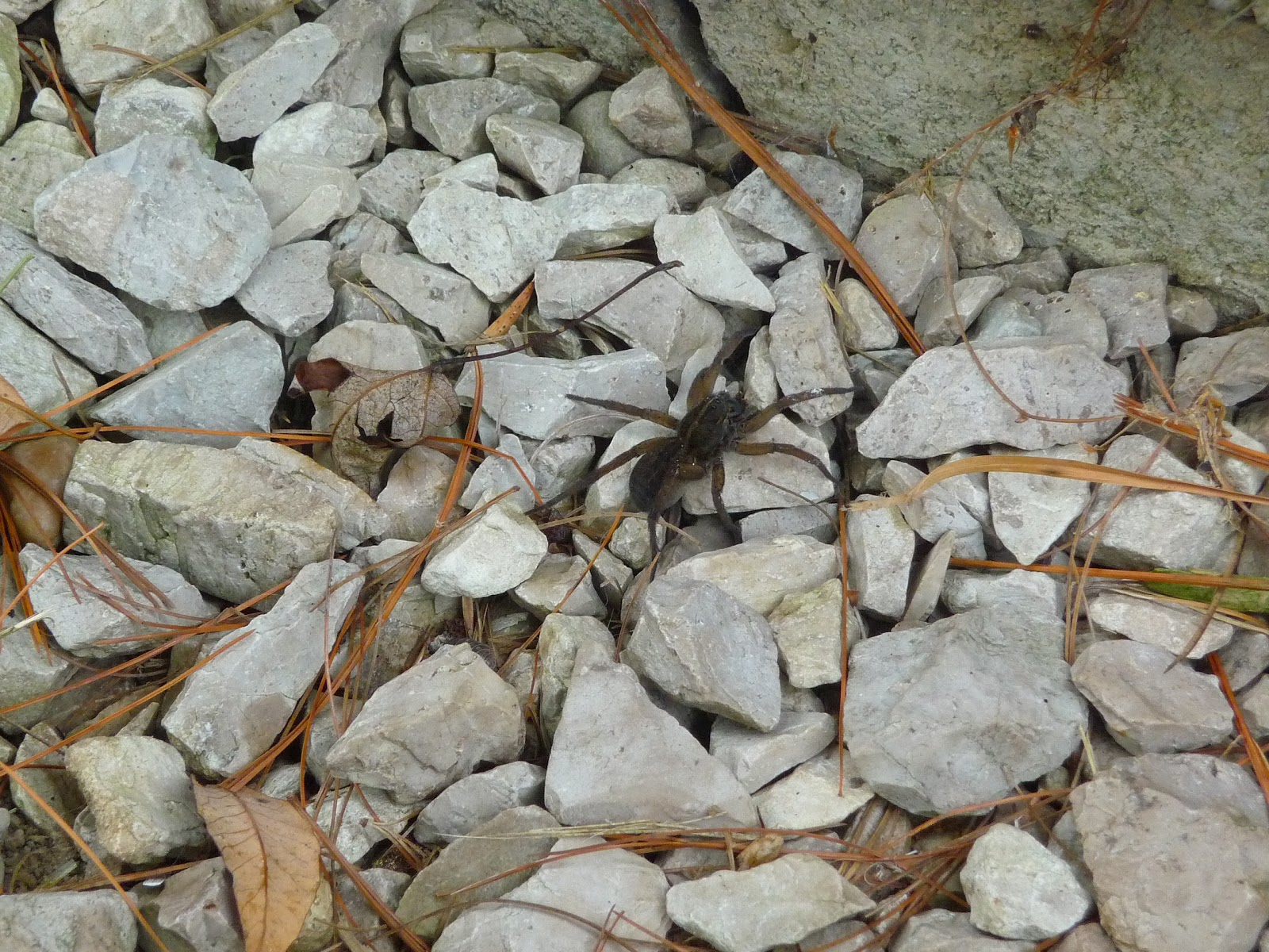 Indsendte Pics - Wolf Spiders Michigan Spiders-2084