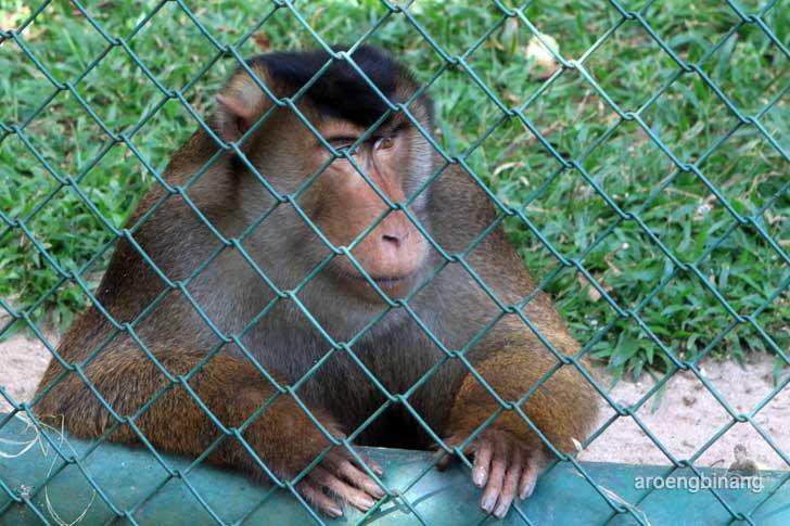 beruk kebun binatang ragunan jakarta