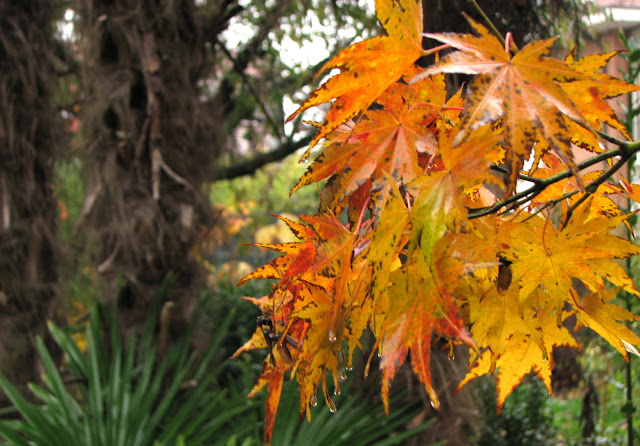 Orange acer leaves