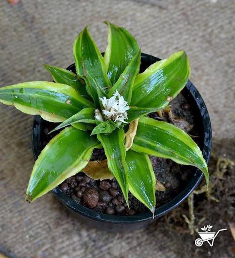 Tanaman kerang nanas Cryptanthus Bivittatus Tanaman Bunga Bromelia Mini Jawa Barat