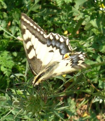 MACAONE Papilio machaon rose erbe officinali lavanda confetture sali aromatici alla fattoria didattica dell ortica a Savigno Valsamoggia Bologna in Appennino vicino Zocca