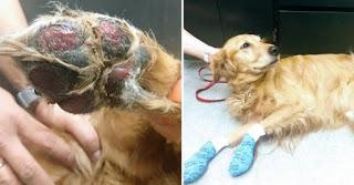 lesões nas patas dos cães