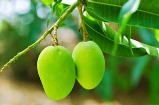Health Benefits Leaves of Mangoes