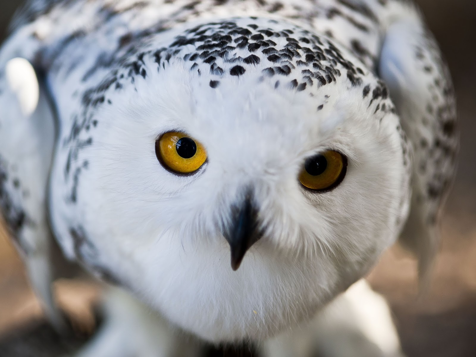 hd snowy owl wallpapers fun animals wiki videos