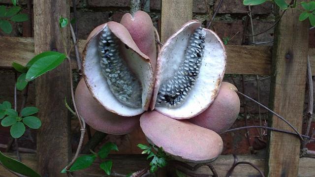 Keterangan Akebia Quinata Fruit