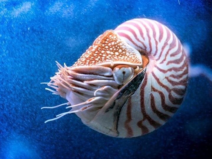Nautilus, Hewan Purba Berusia 500 Juta Tahun yang Masih Hidup