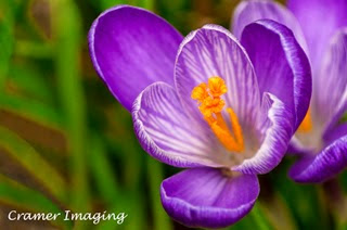 Cramer Imaging's professional quality fine art nature photograph of a purple crocus flower close-up in Pocatello, Bannock, Idaho