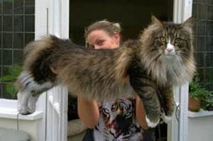 kucing mainecoon